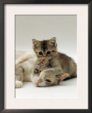 Domestic Cat, Silver Tortoiseshell-And-White Mother with Her 8-Week Tabby Kitten Playing Prints by Jane Burton