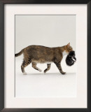 Domestic Cat, Tortoiseshell Mother Carrying / Moving Kitten Print by Jane Burton