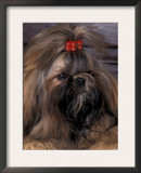 Shih Tzu Portrait with Hair Tied Up Prints by Adriano Bacchella