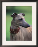 Fawn Whippet Wearing a Collar, Lookig Away Prints by Adriano Bacchella