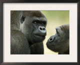 Two Western Lowland Gorillas Face to Face, UK Prints by T.j. Rich