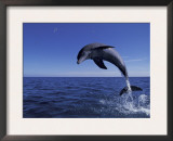 Bottlenose Dolphin Leaping, Bahamas Posters by John Downer