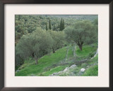 Terraced Olive Grove, Samos, Greece Prints by Rolf Nussbaumer