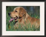 Golden Retriever Lieing in Grass, Us Prints by Lynn M. Stone