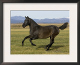 Dark Grey Young Andalusian Stallion Cantering, Colorado, USA Prints by Carol Walker