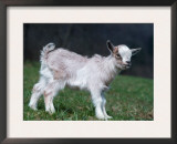 Pygmy Domestic Goat Kid Prints by  Reinhard
