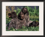 Korthal's Griffon / Wirehaired Pointing Griffon Puppies Resting / Playing in Grass Posters by Adriano Bacchella