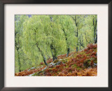 Native Birch Woodland in Autumn, Glenstrathfarrar Nnr, Scotland, UK Prints by Pete Cairns