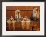 Domestic Dogs, Four Yorkshire Terriers on a Table with Hair Tied up and Very Long Hair Print by Adriano Bacchella