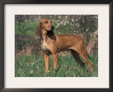 Smooth / Short-Haired Segugio Italiano Hound Portrait Prints by Adriano Bacchella