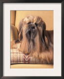 Lhasa Apso Sitting on Couch with Hair Plaited Print by Adriano Bacchella