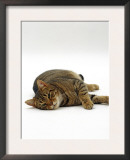 Domestic Cat, Striped Tabby Male Lying on Side Posters by Jane Burton