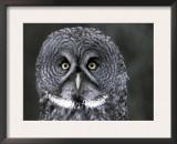 Great Grey Owl Portrait, Alaska, USA Art by Lynn M. Stone