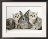 Three Silver Exotic Kittens with Silver Lop Rabbit Posters by Jane Burton