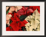 Various Poinsettias in Bloom Posters by De Cuveland