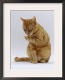 Domestic Cat, Ginger Tabby Female Sitting Licking Front Paw Prints by Jane Burton