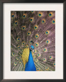Male Common Peafowl, Displaying, Trowunna Widlife Park, Tasmania Prints by Pete Oxford