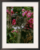 Domestic Cat, Tabby Kitten Among American Pillar Roses Posters by Jane Burton