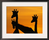 Giraffes, Silhouetted of Heads and Necks at Dawn, Botswana Savute-Chobe National Park Prints by Richard Du Toit