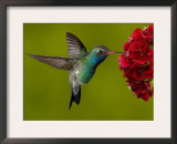 Broad-Billed Hummingbird, Male Feeding on Garden Flowers, USA Posters by Dave Watts