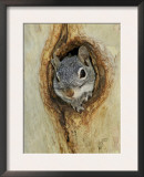 Arizona Grey Squirrel, Ilooking out of Hole in Sycamore Tree, Arizona, USA Art by Rolf Nussbaumer