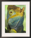 Portrait of Male Parson&#39;s Chameleon, Ranomafana National Park, South Eastern Madagascar Posters by Nick Garbutt