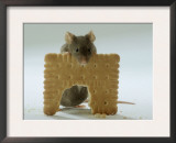 Domestic Mouse Eating Biscuit Posters by  Steimer