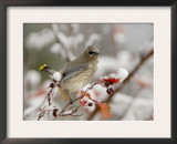 Cedar Waxwing, Young on Hawthorn with Snow, Grand Teton National Park, Wyoming, USA Posters by Rolf Nussbaumer