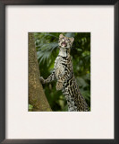 Ocelot (Felis / Leopardus Pardalis) Amazon Rainforest, Ecuador Poster by Pete Oxford