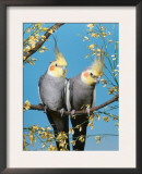 Two Cockatiels, Males (Nymphicus Hollandicus) Australia Print by  Reinhard