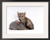 Domestic Cat, Silver Tortoiseshell Kitten with Silver Dwarf Lop Eared Rabbit Posters by Jane Burton