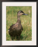 Pacific Black Duck, Tasmania, Australia Posters by Pete Oxford
