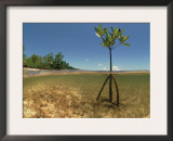 Young Mangrove Tree Sapling Split-Level Shot, Caribbean Posters by Jurgen Freund