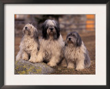 Polish Lowland Sheepdog Family Group Poster by Adriano Bacchella