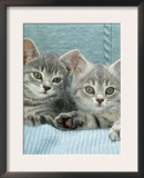 Domestic Cat, Two 8-Week Blue Tabby Kittens Posters by Jane Burton
