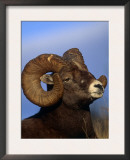 Rocky Mountain Bighorn Sheep, Jasper National Park, Alberta, Canada Art by Lynn M. Stone
