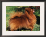German Spitz (Klein) Standing in Show Stack / Pose Poster by Adriano Bacchella