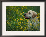 Labrador Retriever Sitting Among Flowers Prints by Adriano Bacchella