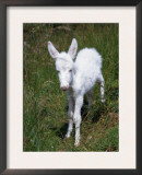 Domestic Donkey Foal, Albino, Europe Prints by  Reinhard