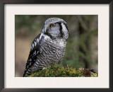 Northern Hawk Owl, Alaska, Us Posters by Lynn M. Stone