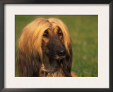 Domesitic Dog, Afghan Hound Face Portrait Posters by Adriano Bacchella