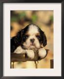 King Charles Cavalier Spaniel Puppy Portrait Art by Adriano Bacchella