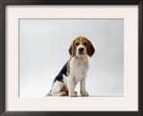 Beagle Puppy Prints by  Steimer
