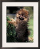 German Spitz (Klein) Puppy Climbing Branch Prints by Adriano Bacchella