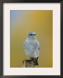 Mountain Bluebird, Male on Post, Grand Teton National Park, Wyoming, USA Prints by Rolf Nussbaumer