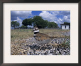 Killdeer Plover, Shading Eggs on Nest from the Sun, Welder Wildlife Refuge, Sinton, Texas, USA Prints by Rolf Nussbaumer