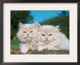 Two Persian Cats, Kittens (Felis Catus) Posters by  Reinhard