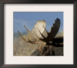 Moose (Alces Alces) Bull, Grand Teton National Park, Wyoming, USA Poster by Rolf Nussbaumer