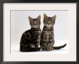 Domestic Cat, Two 8-Week Tabby Kittens, Male and Female Print by Jane Burton
