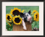 Mixed-Breed Piglet in Basket with Sunflowers, USA Posters by Lynn M. Stone
